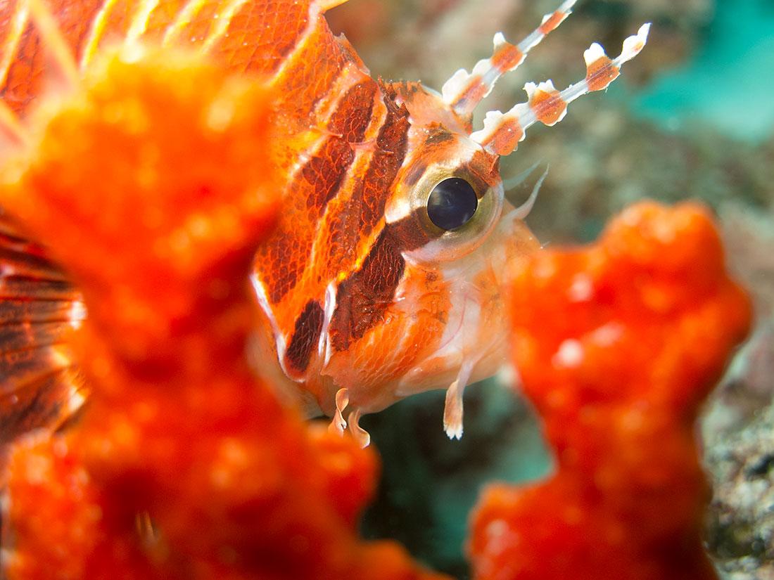 Drakfisk, Maldiverna