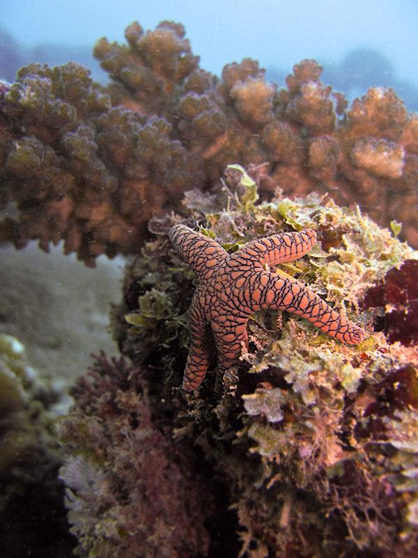 Sjöstjärna, Madagaskar